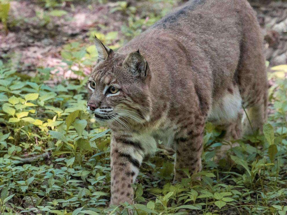 рысь пума bobcat
