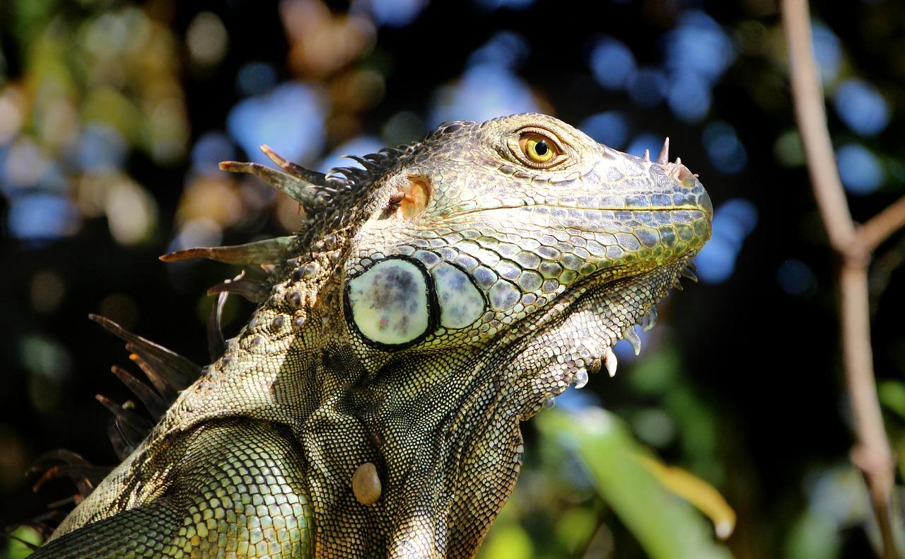 iguana ігуана