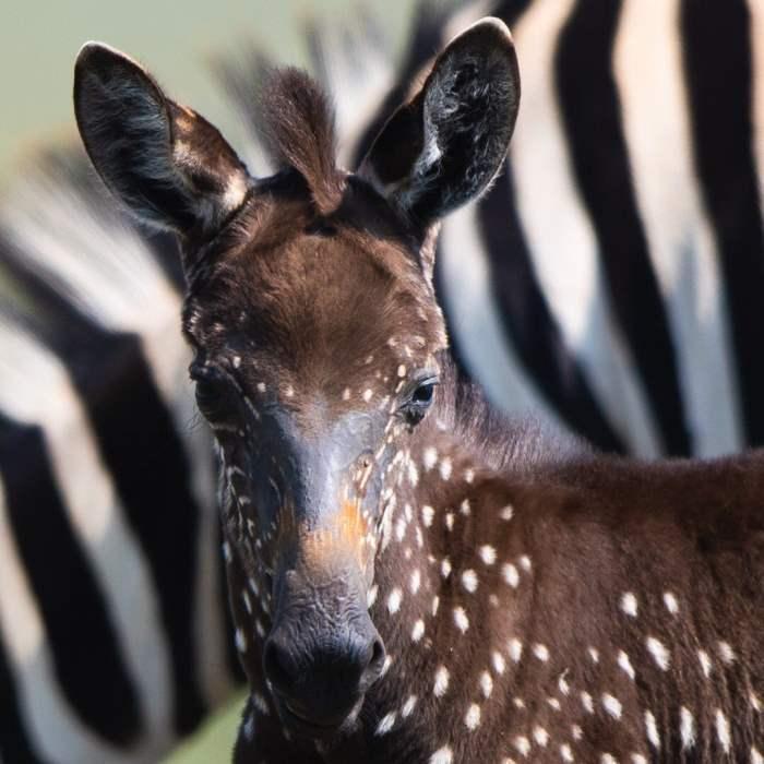 зебра в горошок