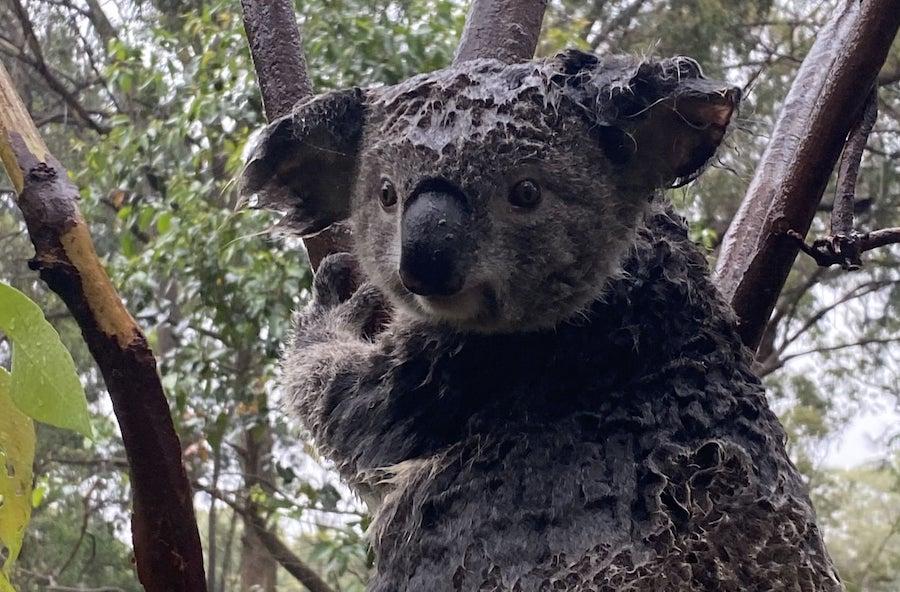 coala australian rain