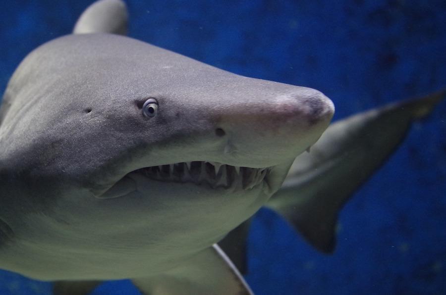 white shark carolina